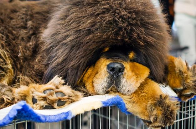 チベットのマスチフ犬