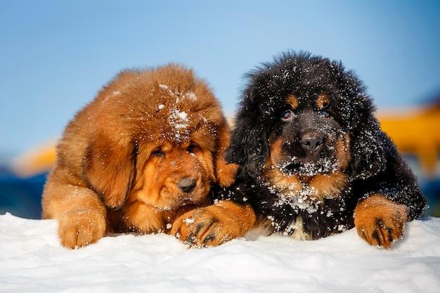 Щенки тибетского мастифа в снегу.