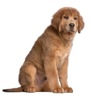 チベットのマスチフの子犬、3ヶ月、座っています。