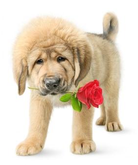 白い背景の上の口の中に赤いバラとチベタンマスティフ子犬