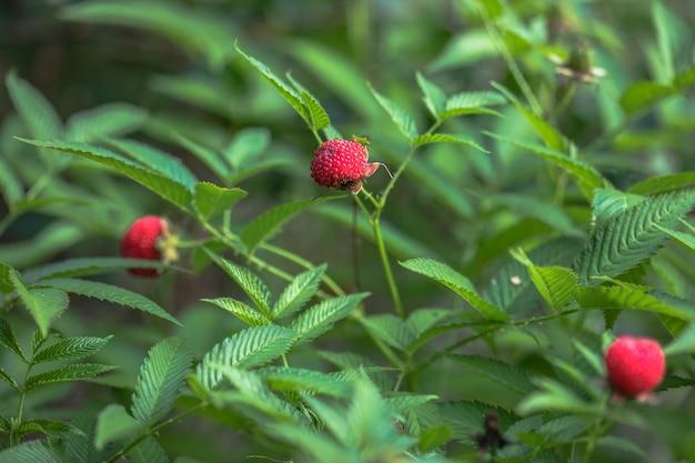Tibetan strawberry-raspberry, berry. roseleaf  rubus rosifolius. close up on background of leaves