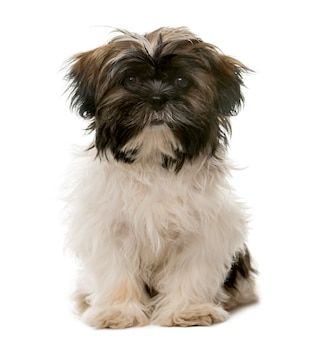 Tibetan terrier sitting in front of a white wall