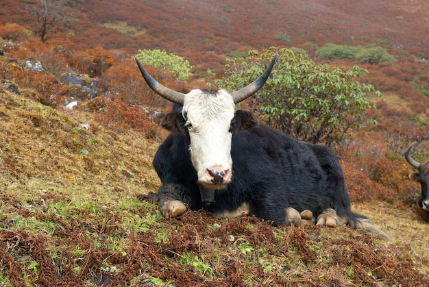 Tibetan yaks on grass field in the mountains