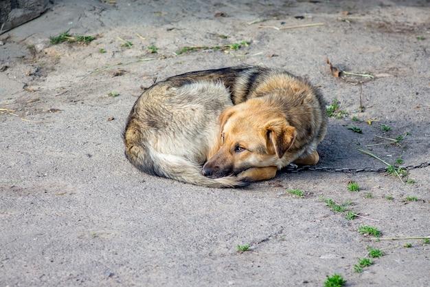横になっている縛られた犬は中庭にいます。飼育下の動物は悲しい