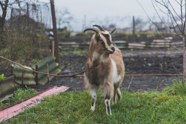 Tied goat on green lawn