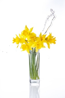Tied narcissus isolated on white, summer flowers in glass with splashes of water, with reflection