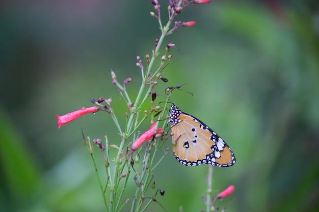 花の植物の虎蝶