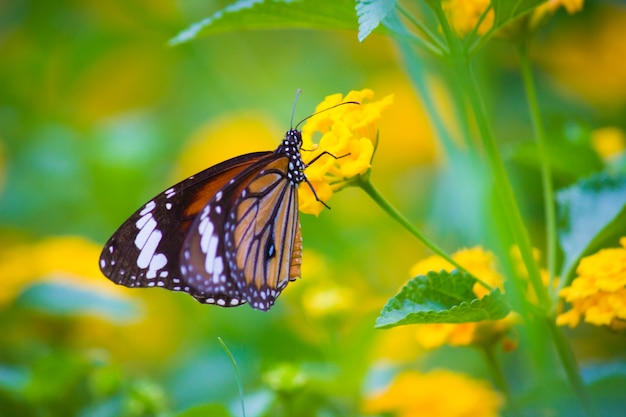 호랑이 나비