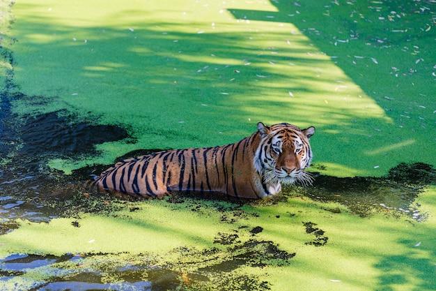 타이거 수영장에서 놀아요. 동물원 공원에서 호랑이