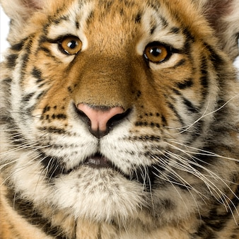 Tiger cub (5 months) in front on a white isolated