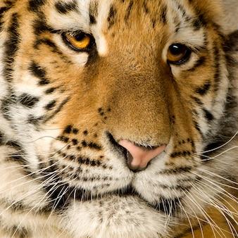分離された白の前で虎の子(5ヶ月)