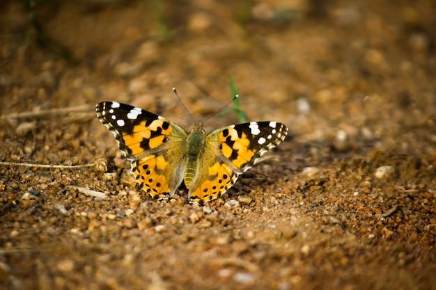 地面に座っているタイガーダナウスchrysippus蝶