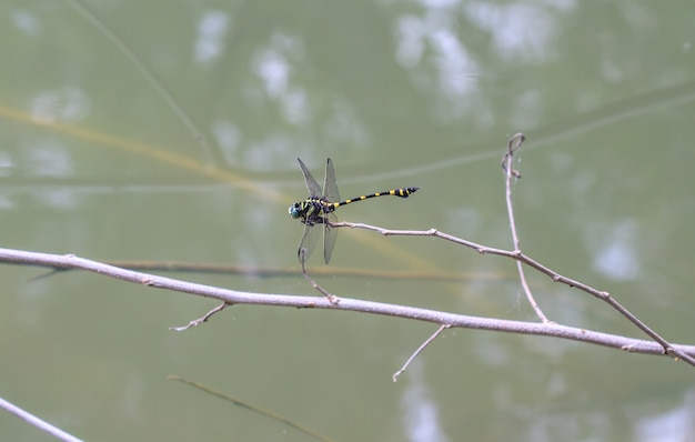 Tiger dragonfly on branch in tropical forest