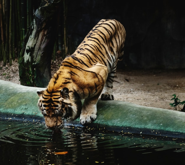Tiger drinking water at the zoo