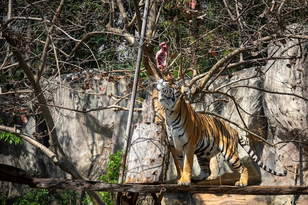 Tiger eating, tiger is showing food hunting behavior in zoo