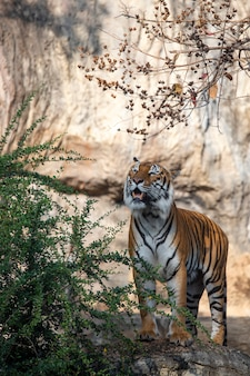 Tiger eating in zoo