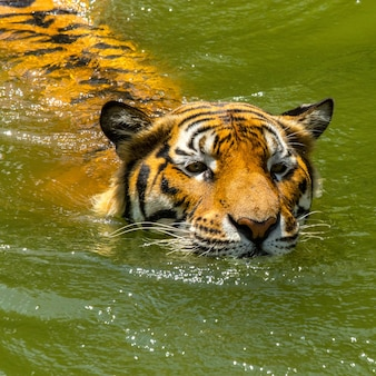 Tiger face animal in the deep natural.