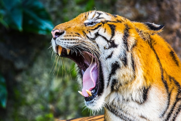 Tiger fury in the zoo