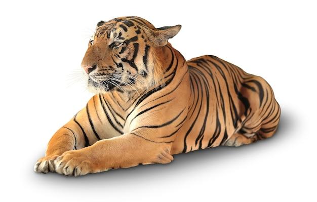 Тигр отдыхает. изолированные