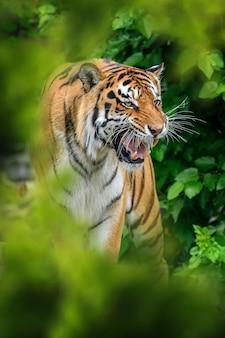 Тигр в естественной среде обитания, спрятанный в лесу