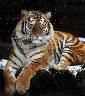 동물원의 호랑이