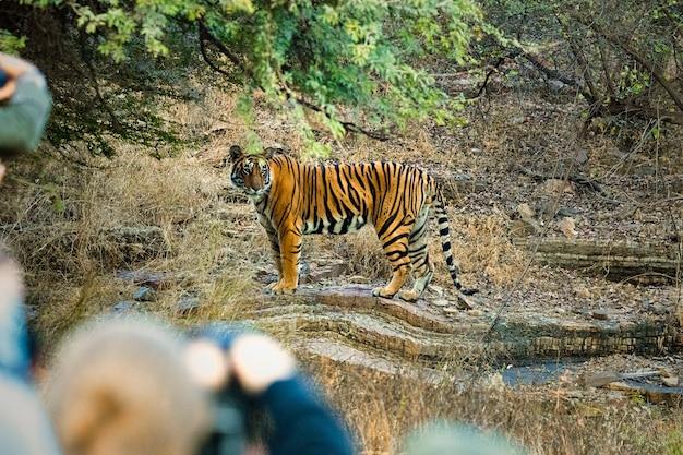 野生動物のトラ