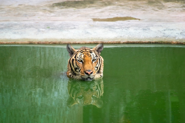 The  tiger is floating on the water