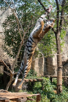 The tiger jumped to eat at the zoo's show.