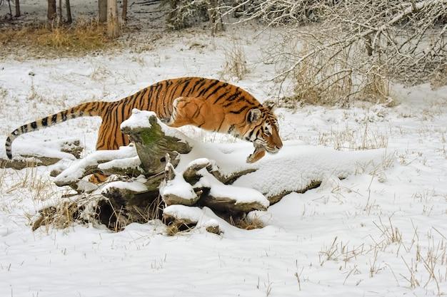 冬の雪に覆われた丸太を飛び越える虎
