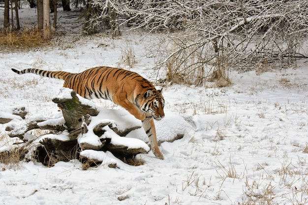 Tiger jumping over a snow covered fallen log in winter