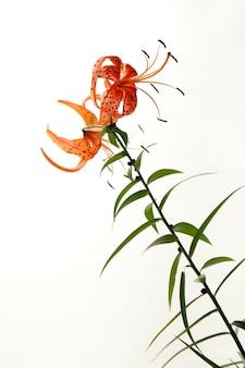 満開のタイガーユリの花びらが白い背景で隔離のオレンジ色のユリの花をクローズアップ