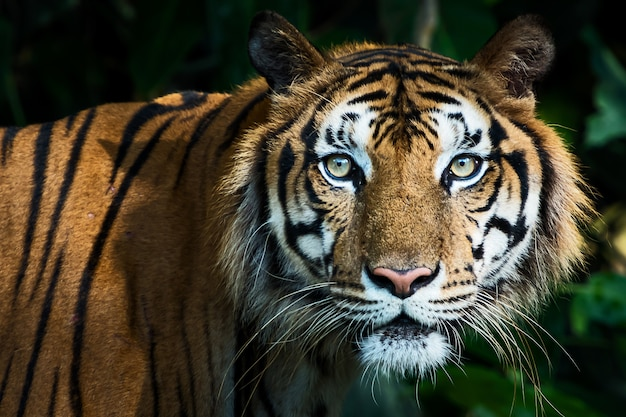 The tiger looked straight at me.