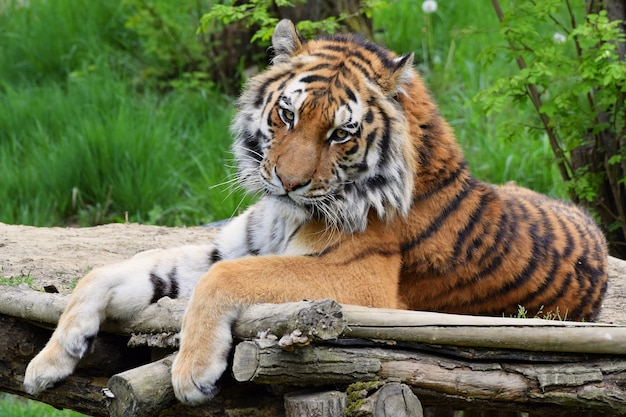 «тигр, лежащий на деревянном полу»
