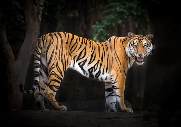 Tiger males standing in a natural atmosphere of the zoo.
