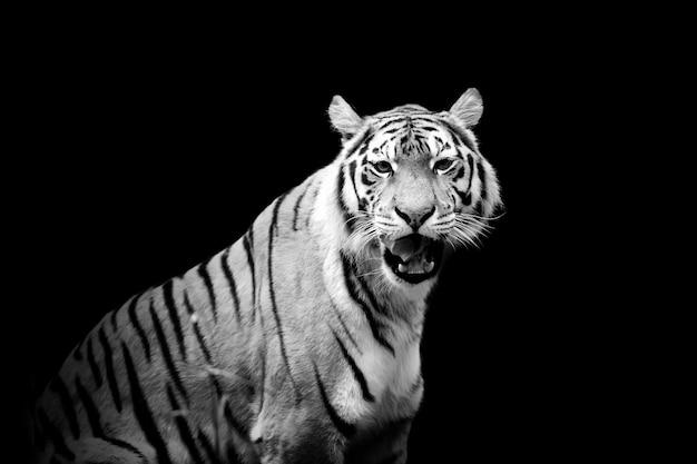 Тигр на темном фоне. черно-белое изображение