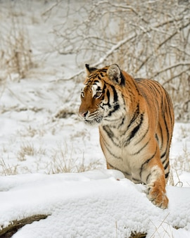 Tiger pawing at the snow in the winter woods