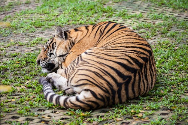 Tiger in phuket zoo in thailand
