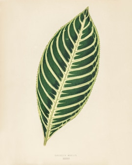 Tiger plant (sanchezia nobilis) engraved by benjamin fawcett (1808-1893)