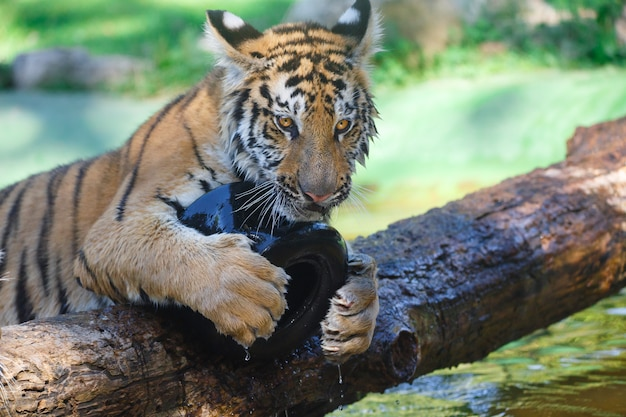 Tiger playing with a plastic wheel on a wooden trunk