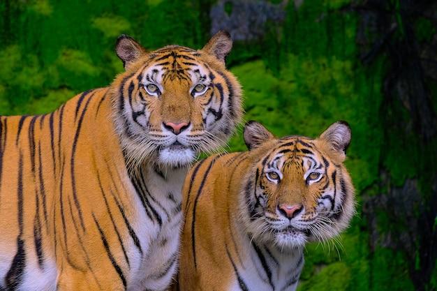 Тигр портрет бенгальского тигра в таиланде