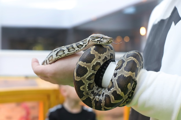 Tiger python in human hands. snake. background photo for the zoo. animal