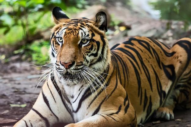 動物園の囲いで日中休んでいるトラ/自然の中の野生動物