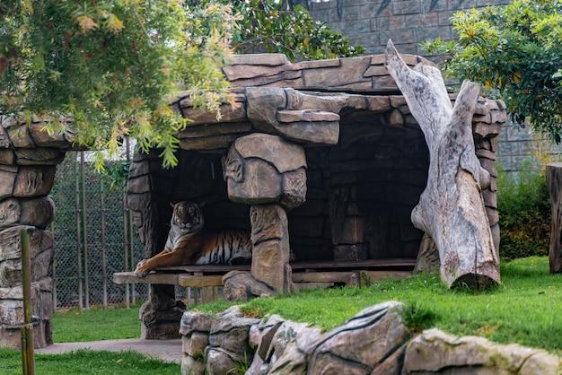 草、自然、野生動物で休んでいるトラ。