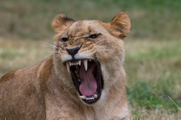 ジャングルで咆哮するトラ