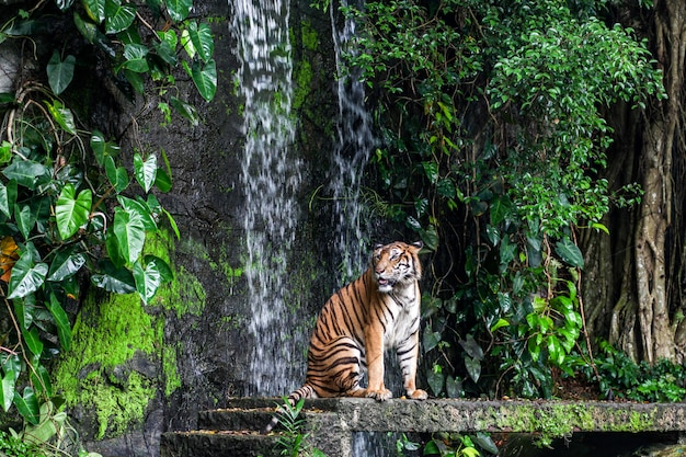 Tiger show tongue walking  in front of mini waterfall
