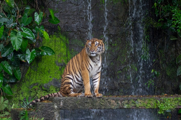 Tiger sit down in front of waterfall