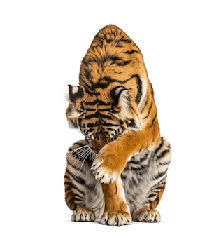 Tiger sitting and hiding its head, isolated on white