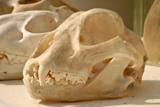 Tiger skull, cranium