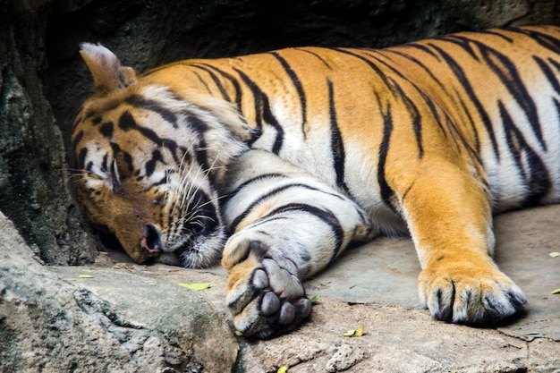 Tiger sleep in cave