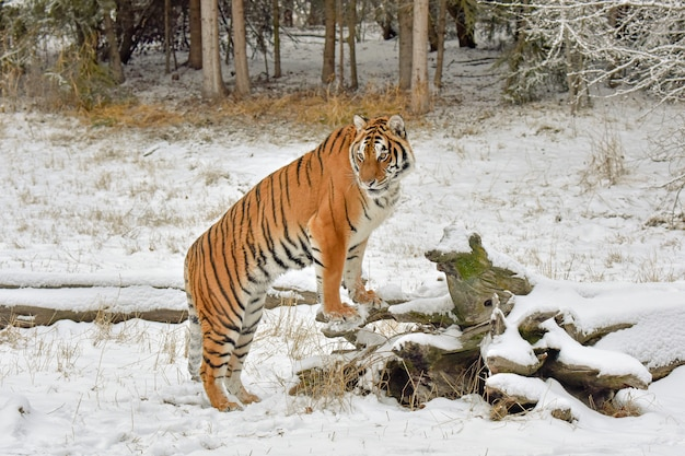 Tiger in the snow with front paws up on a fallen log in winter